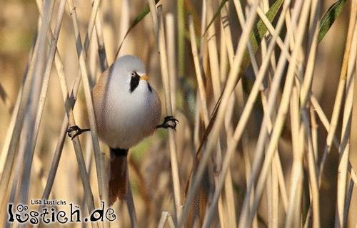 Van Damme Bird