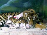Schweinchen im Tigerfell