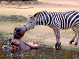 Zebra und Hippo