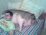 Schweinisches Kopfkissen