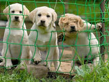 Neugierige Hundwelpe