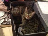 Kofferkatzen