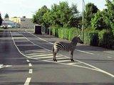 Ein Zebra auf der Straße