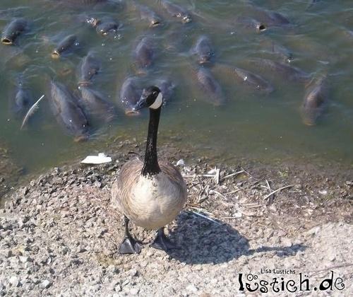 Ente in Gefahr