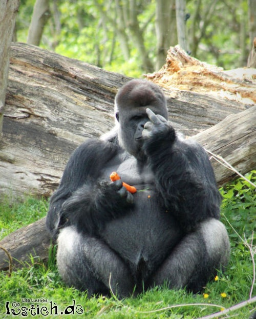 Gorilla will nicht gestört werden