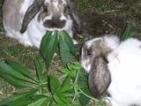 Naschende Hasen