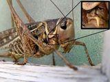Insektengesicht