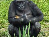 Affe mit Entchen